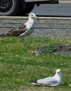 different gull types at dunedin