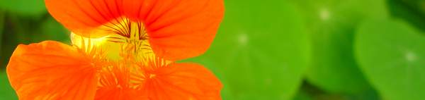 Nasturtium flower striped with sunlight