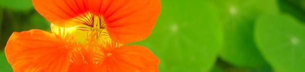 Nasturtium flower striped with sunlight
